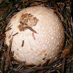 Applications cueillette de champignons
