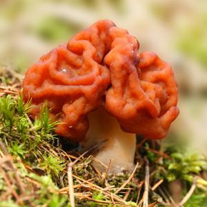 Gyromitra Esculenta (Fausse Morille)