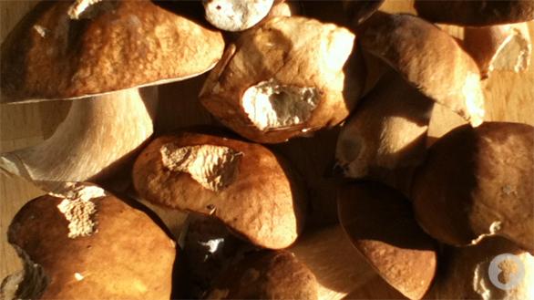 Belle cueillette de Cèpes de Bordeaux