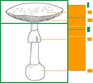 Anatomie du Champignon